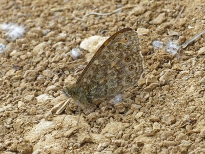 Underwing of a butterfly giving good camouflagea against the gravel behind it