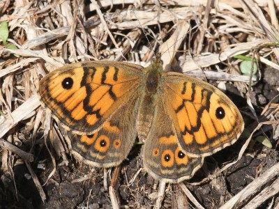 Orange butterfly with brown lines and marks, including an eyespot at the top of each forewing