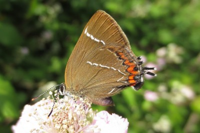 Brown butterfly with white lines, orange spots and a tail, on a bramble flower.