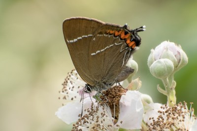 Brown butterfly with white lines and orange spots, plus a small tail