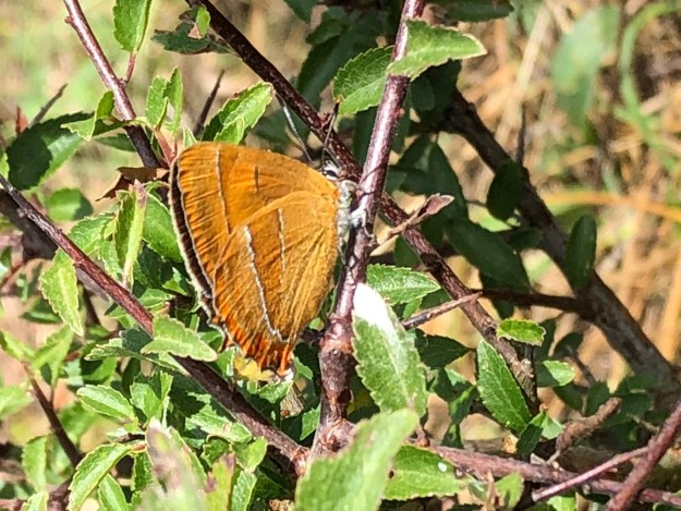 view of a Brown Hairstreak resting with wings half closed