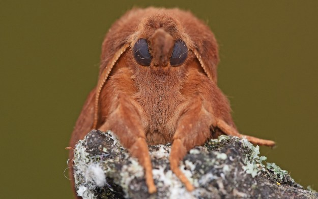 quirky close up view of a Drinker moth resting on the top of a twig facing the camera