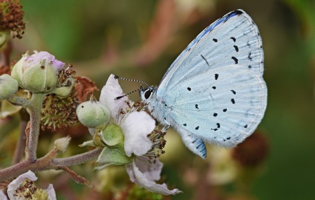 view of a Holly Blue nectaring on bramble flowers shoowing undersides of fore and hind-wings