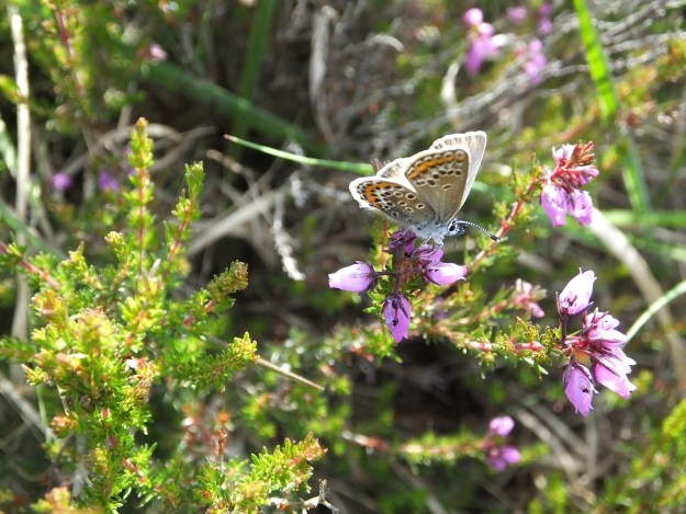 Silver-studded Blue Female nectaring on heather