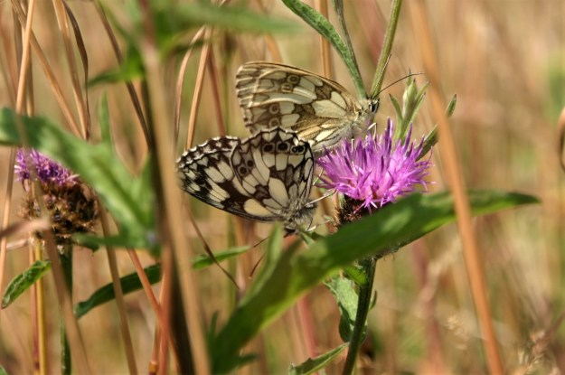 view iof a mating pair of Marbled Whites on Knapweed flowers