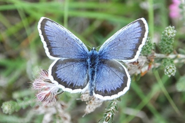 Blue butterfly with black wing edges and white fringes with its wings full open
