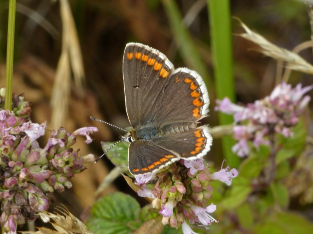 view of a Brown Arguson a pink flower showing all upperwings