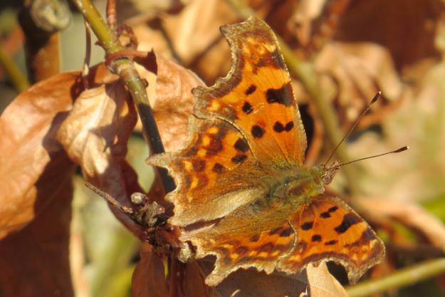 view of a Comma showing all upper wings
