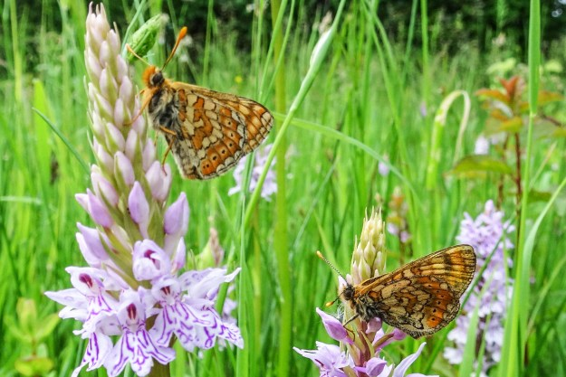 Two butterfies with complex orange, yellow and brown markings.