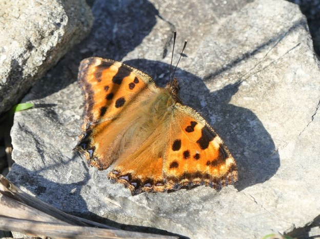 Orange buttefly with dark markings and some blue spots on the hindwings
