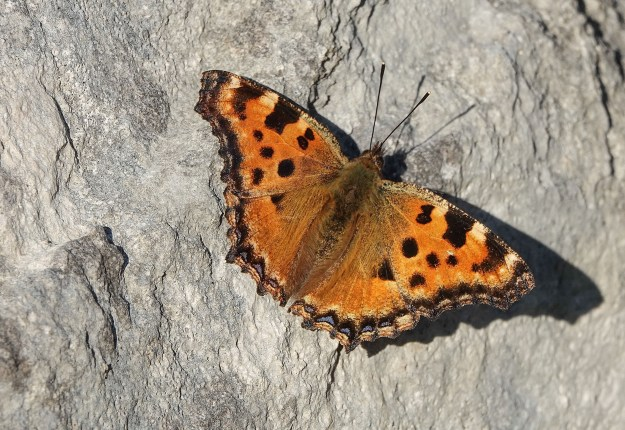 Orange butterfly with dark markings, with its wings spread