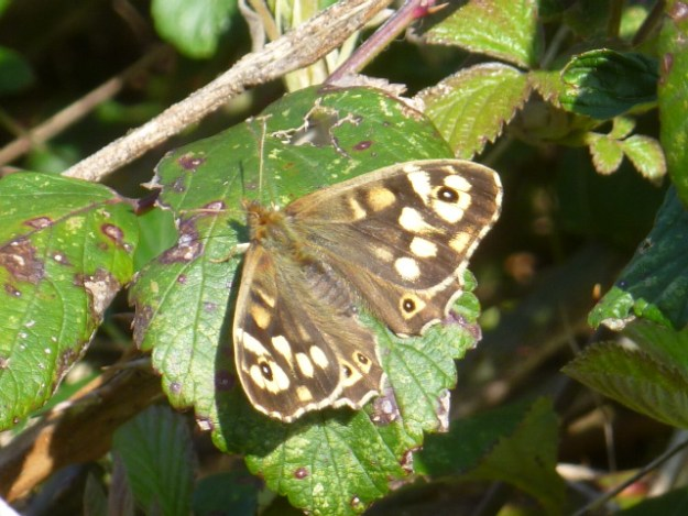 view of a Speckled Wood resting with open wings on a bramble leaf