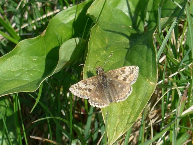 view of a Di9ngy Skipper on leaves  with wings out flat