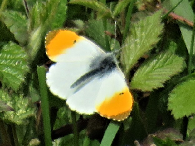 White butterfly with prominent orange tips to its wings