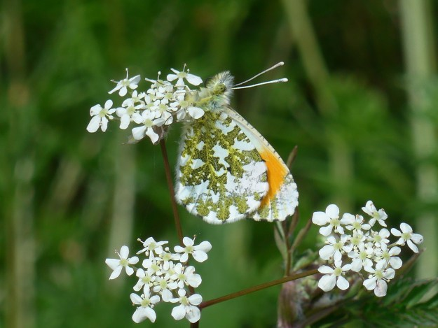 view of the underside of an Orange tip on white flowers