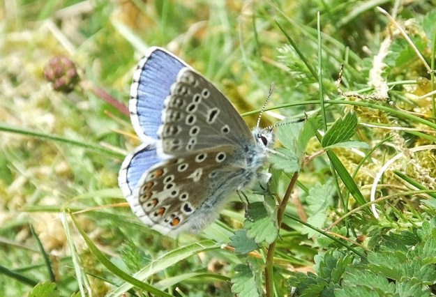Blue butterfly with greyish undersings which have various markings