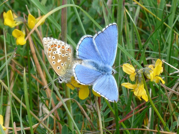 Two butterflies, one with closed wings and one with open, vividly blue, wings, in mating position