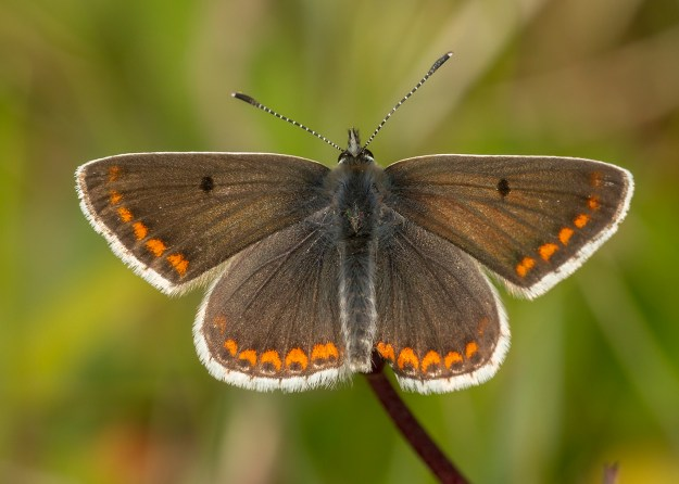 Brown butterfly with white fringes within which are a row of orange dots