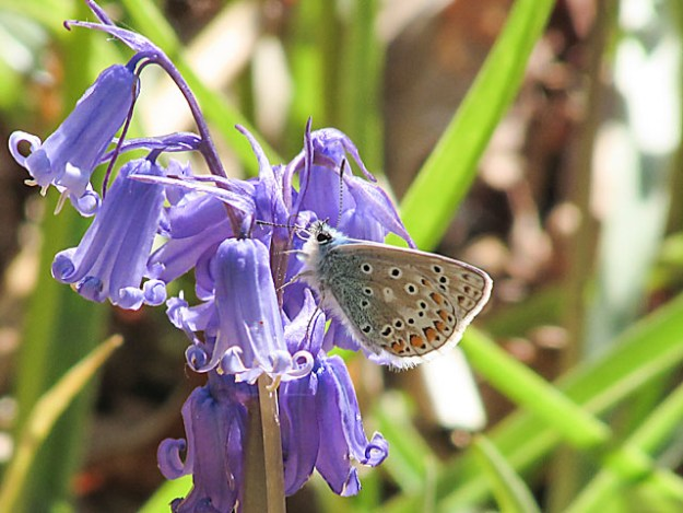 Small butterfly clinging to a bluebell