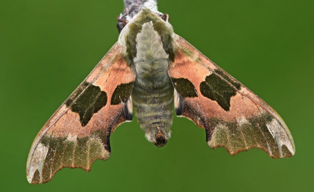 Large moth with open wings of pink, beige and dark green
