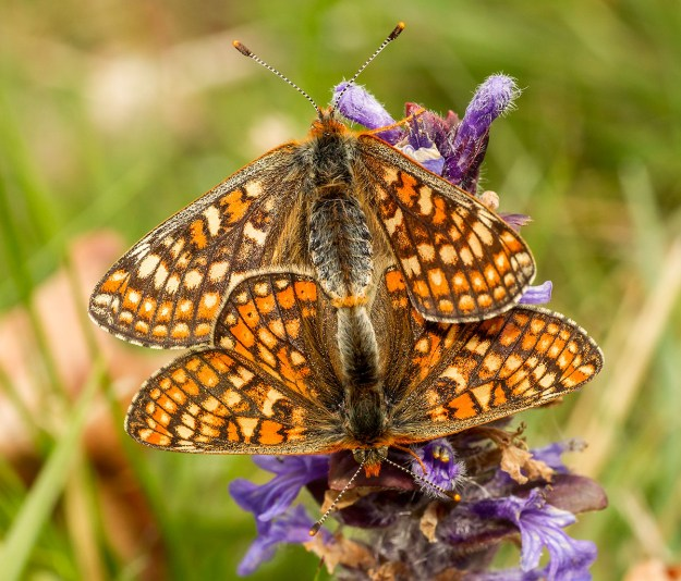 Two colourful orange, yellow and brown butterlfies in mating position on a flower