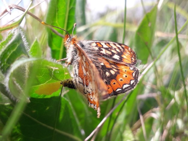 Orange, brown and cream butterfly with abdomen curled round under a leaf, laying eggs