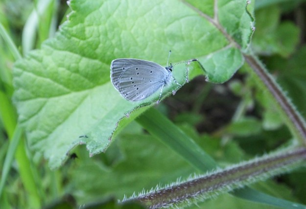 Very small butterfly with pale blue underwings, on a large leaf