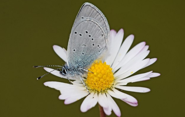 Very small butterlfy with pale blue underwings with black spots on a daisy flower