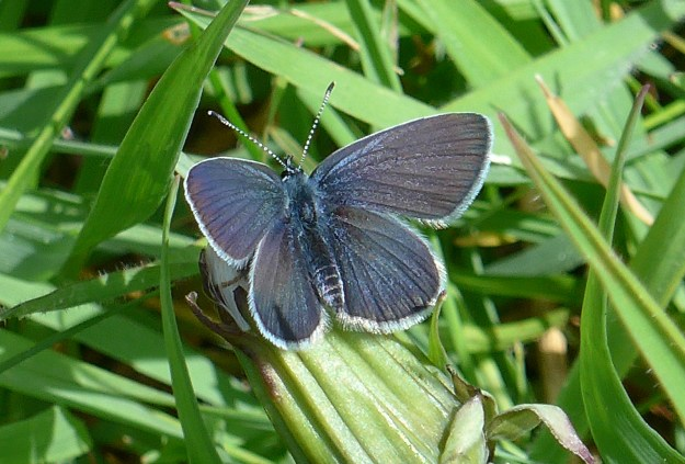 Dark brown butterfly with a faint dusting of blue scales and a white fringe