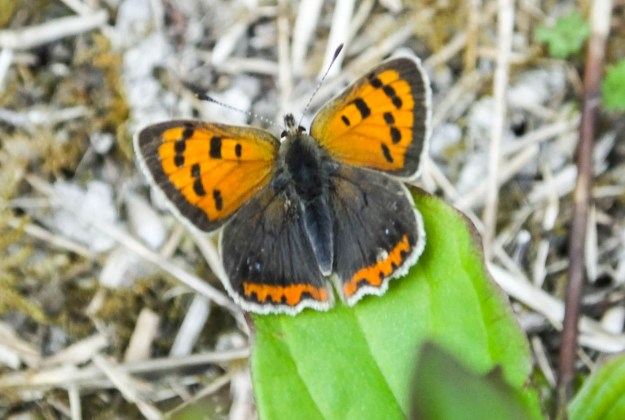 Butterfly with orange forewings and brwon hindwinds edges with orange.