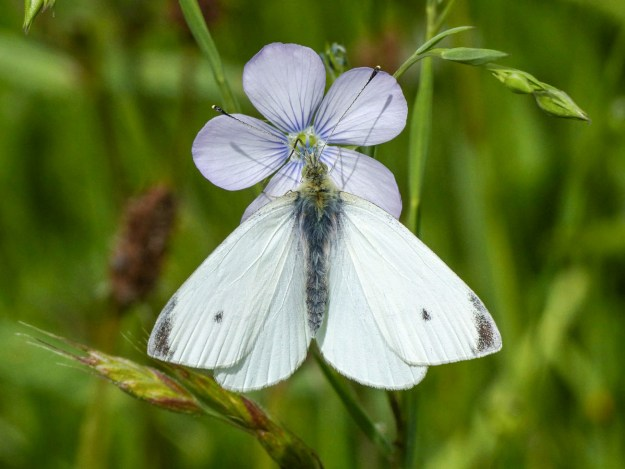 White butterfly with a small black spot on each forewing and black tips to them