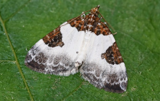 white moth with a blue border and tan patterns on upper wings