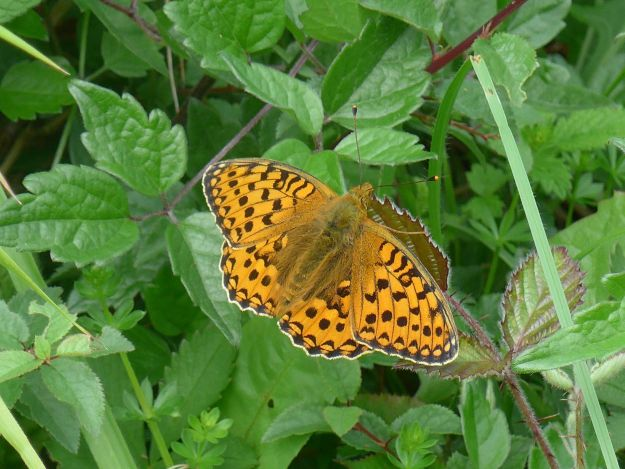 a bright orange butterfly with dark markings resting with open wings on leaves