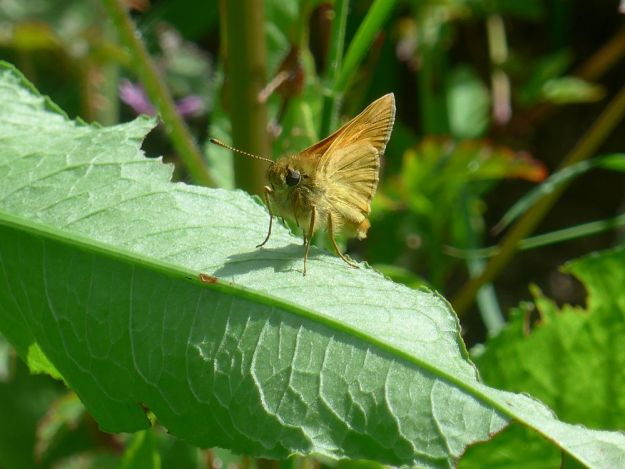 large Skipper with wings closed resting on a leaf.
