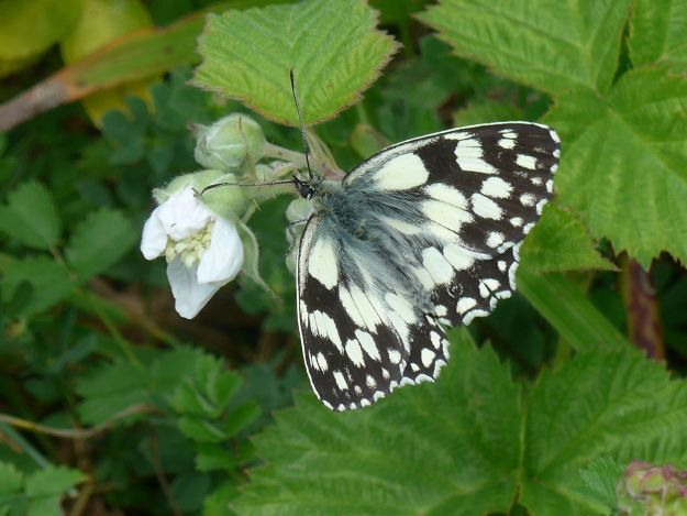 Black and White Marbled White butterfly nectaring on a white flower