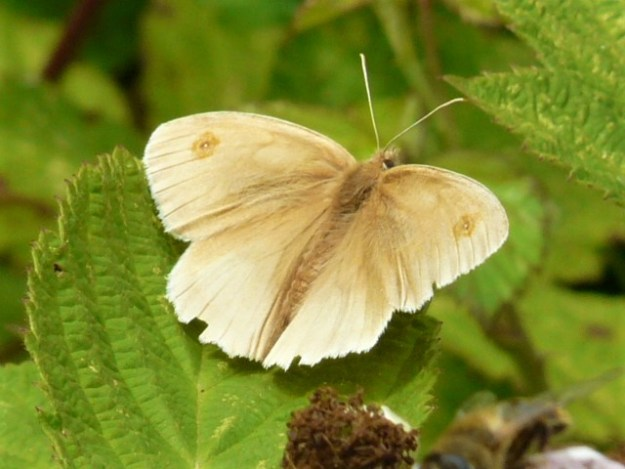 a light creamy brown butterfly with wings open wide