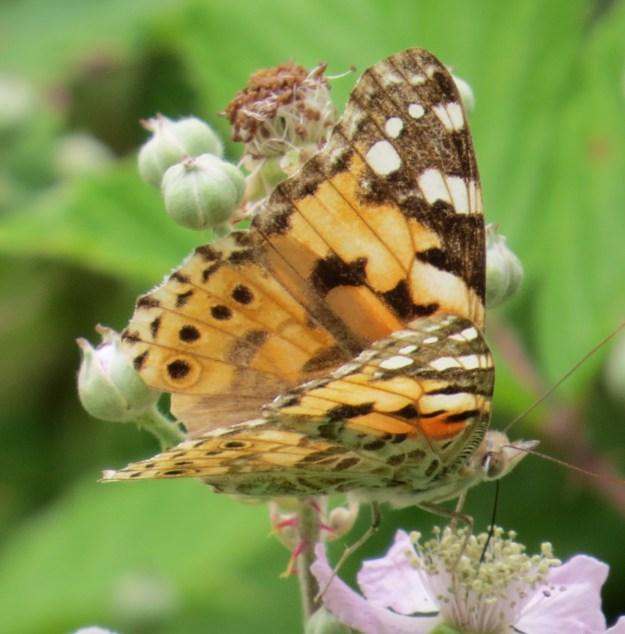 Painted Lady on bramble flowers