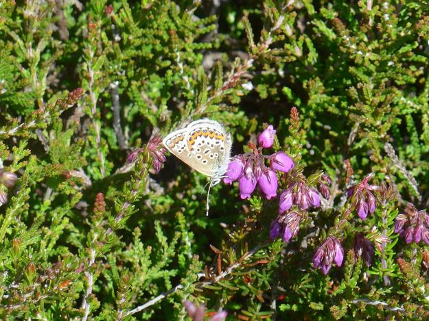 a little Silver-studded Blue showing underwing pattern