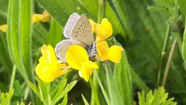 a Small Blue nectaring on Birds-foot trefoil