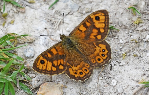 a beautiful orannge and brown Wall Brown butterfly resting with wings open