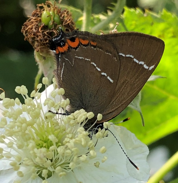 view of a brown butterfly  with orange spots and white W shaped lines on lower wings