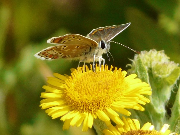 Brown butterfly with orange spots inside edge of all fore-wings and a white border