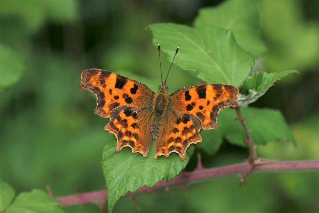 orange and brown  butterfly with jigsaw like edges to wings