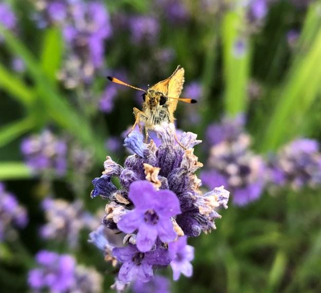 Golden Brown moth like burrwerfly nectaring on Lavender