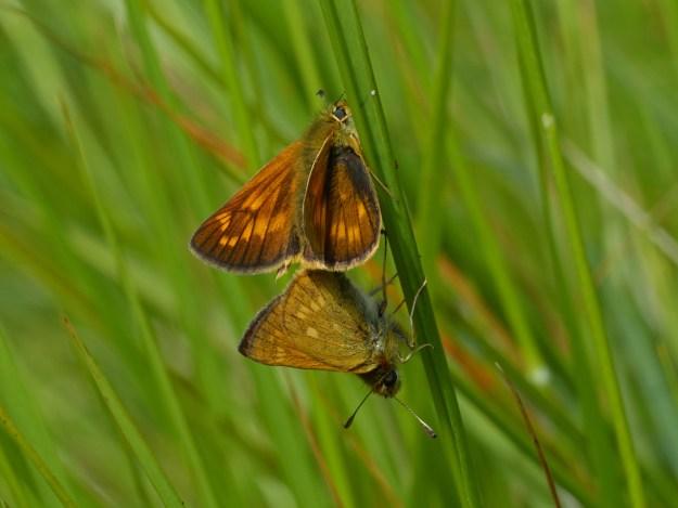 two golden butterflies mating