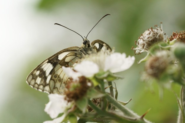 Black and White butterfly nectaring on a bramble flower