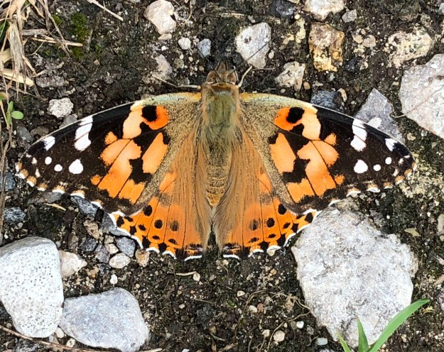 Orange butterlfy with black and white wing ends
