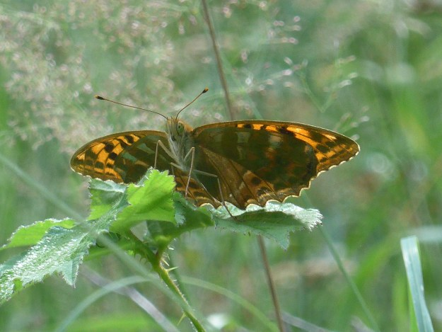 large orange and brown heavily marked butterfly resting on leaves