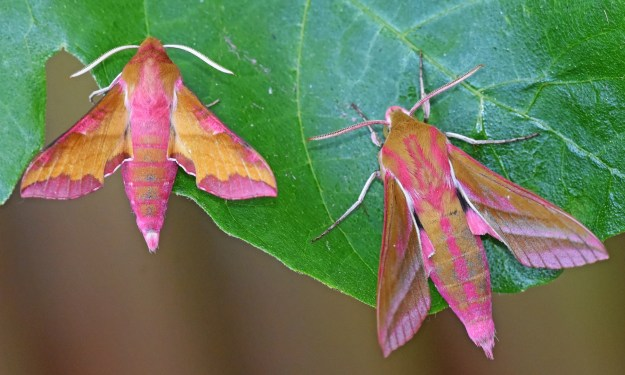 Bright Pink and Yellow Small and Elephant Hawkmoths