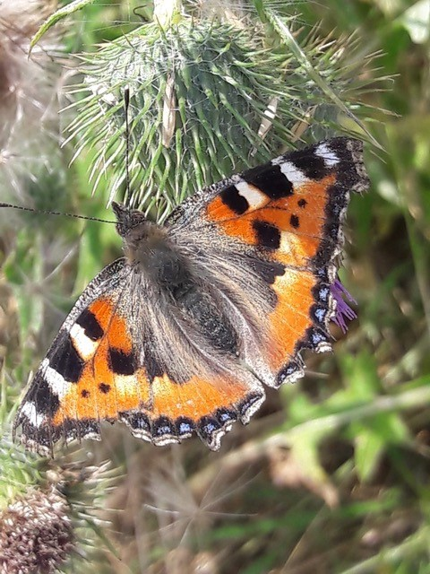 Orange butterfly with black and white vertical stripes on top edge offore-wings